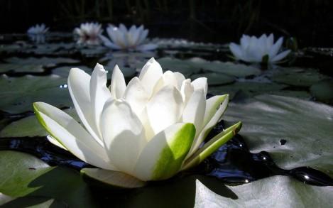 White Lotus Flower Wallpaper 76